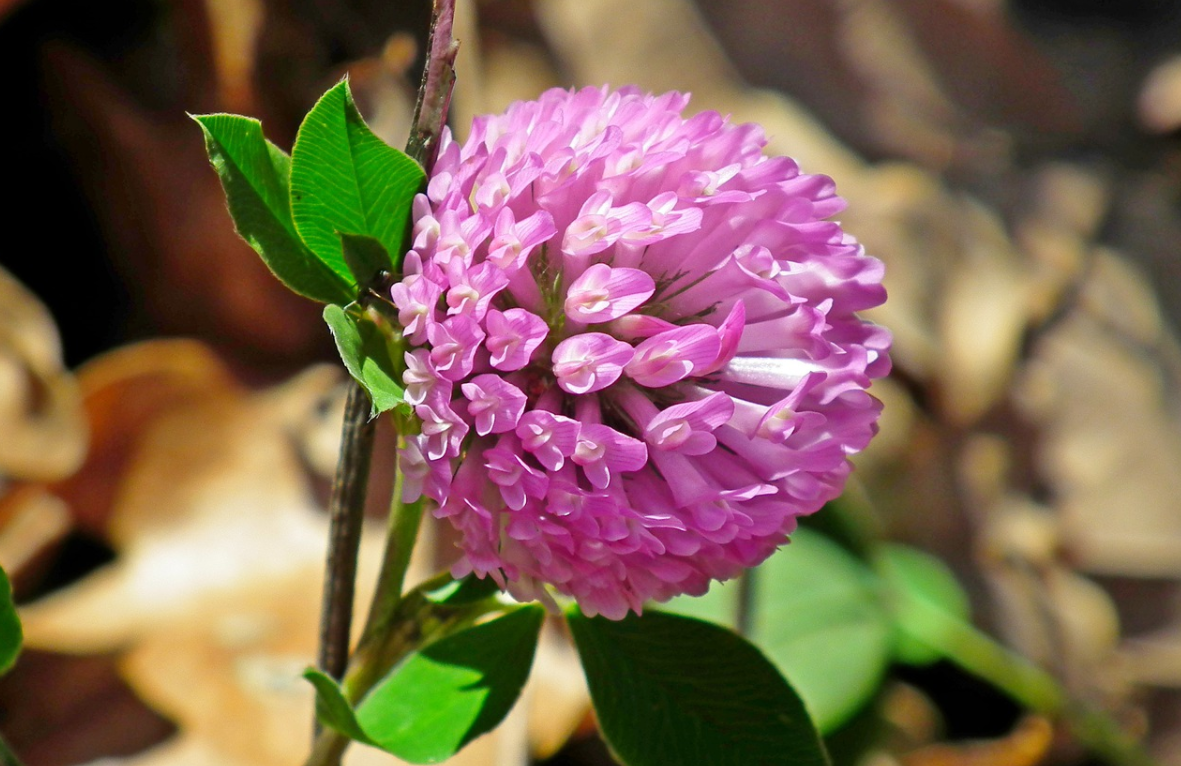 kvetoucí vojtěška